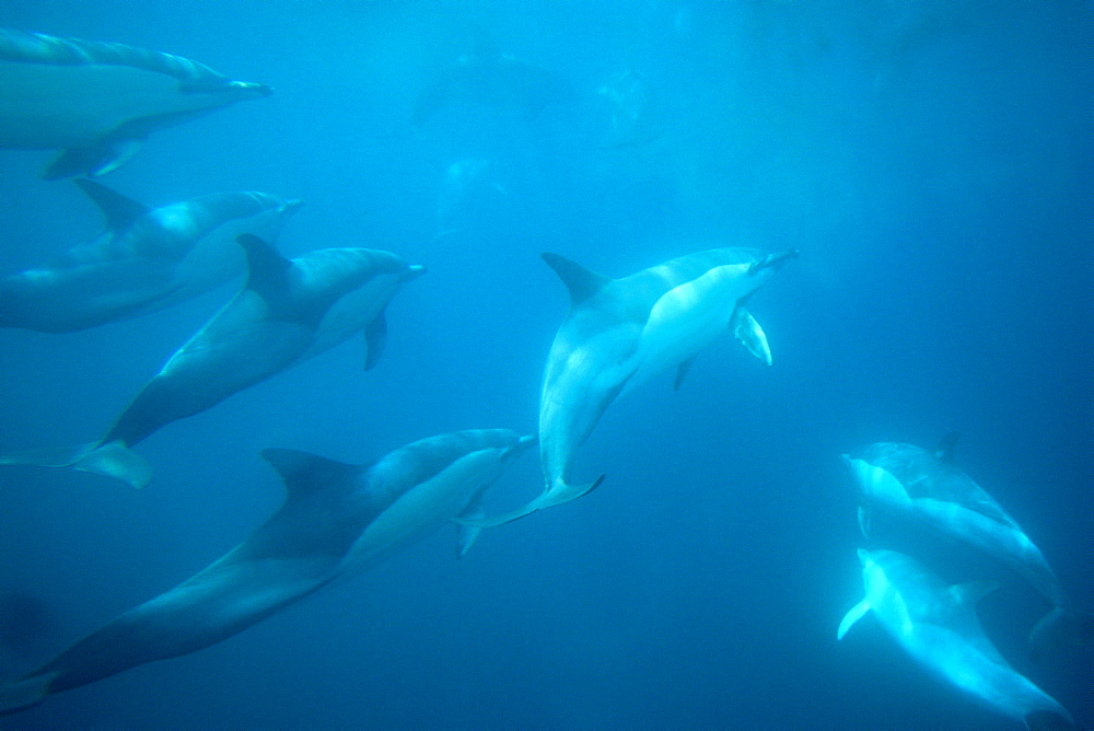 Common dolphins (Delphinus delphis). Social group underwater. Gibraltar Bay.