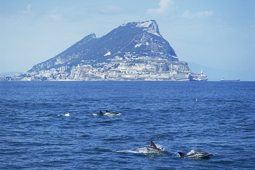 Common dolphins (Delphinus delphis) surfacing, Gibraltar Rock in the background