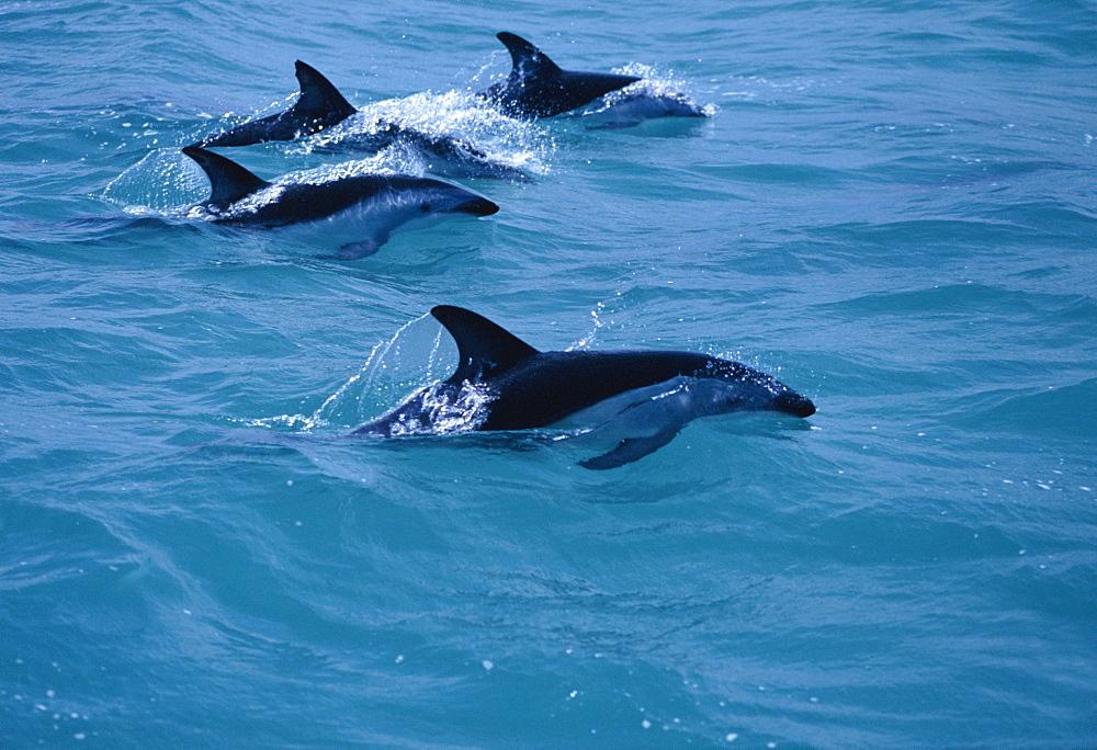 Dusky dolphins (Lagenorhynchus obscurus) surfacing. Kaikoura, New Zealand. - 1036-49