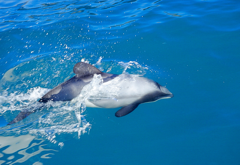 Endangered Hector's dolphin (Cephalorhynchus hectori) surfacing in milky blue waters of ancient flooded volcanic crater: Akaroa Harbour, South Island, New Zealand - 1036-54