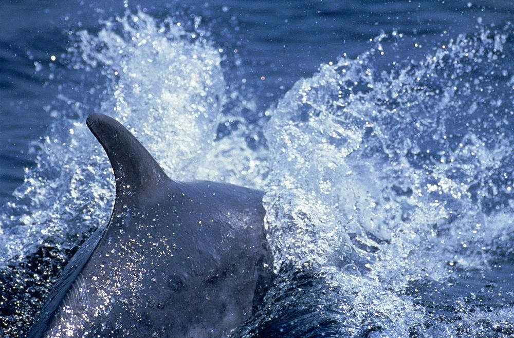 Bottlenose dolphin surfacing (Tursiops truncatus). Gibraltar.