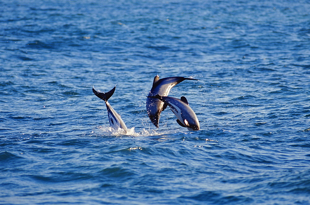 Hectors dolphins (Cephalorhynchus hectori) leaping at dawn. Possibly males trying to out compete each other by jumping the highest instead of fighting. Akaroa, New Zealand - 1036-67