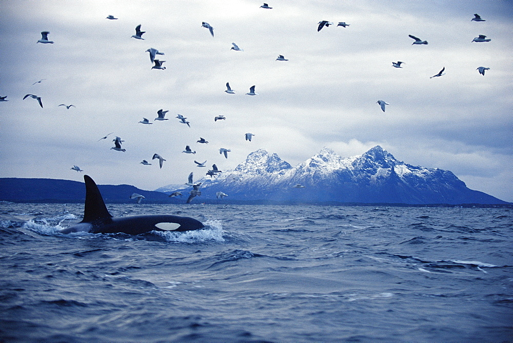 Killer whale (Orcinus orca) Adult male feeding with gulls. Mid-winter in Tysfjord, Norway