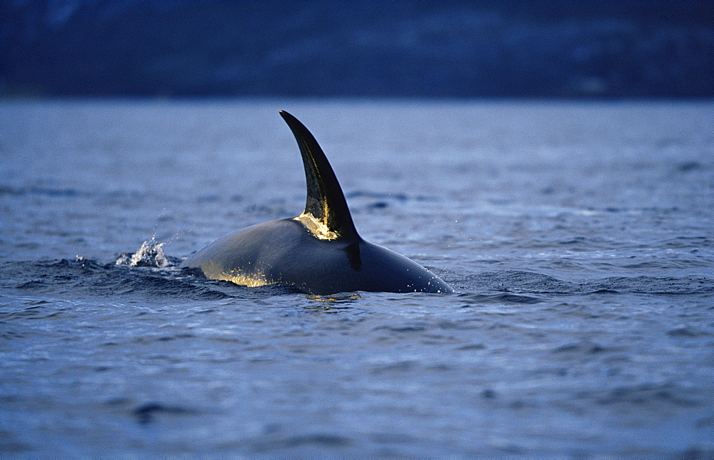 Killer whale (Orcinus orca) with mid-winter sun reflecting on dorsal fin. Mid-winter in Tysfjord, Norway - 1036-81