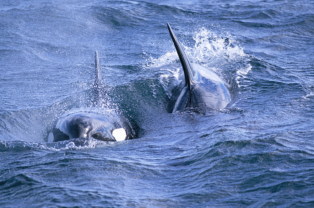 Killer whales (Orcinus orca) surfacing towards the camera in rough water. Olafsvik, Iceland. - 1036-83