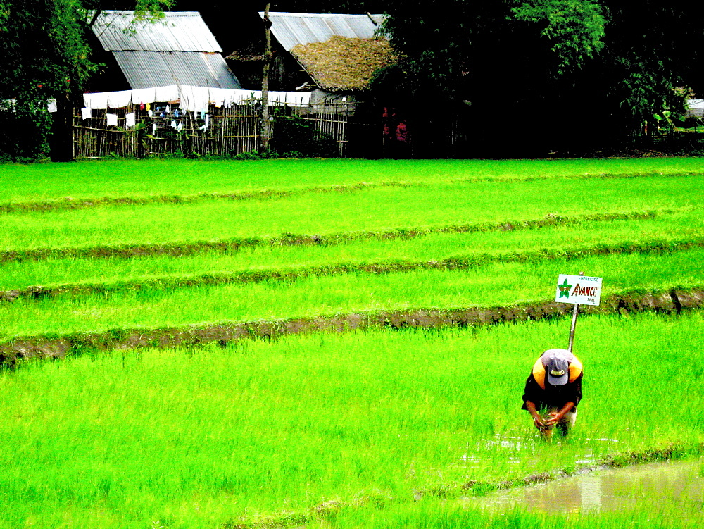 PLANTING RICE. a farmer plants rice after the rain.  Bacolod City.  Philippines