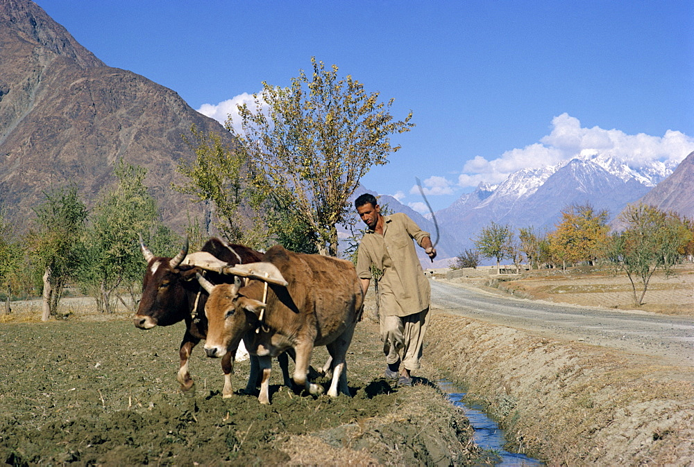 A farmer ploughing with a bullock team beside the Karakoram Highway in the Gilgit area of Pakistan, Asia