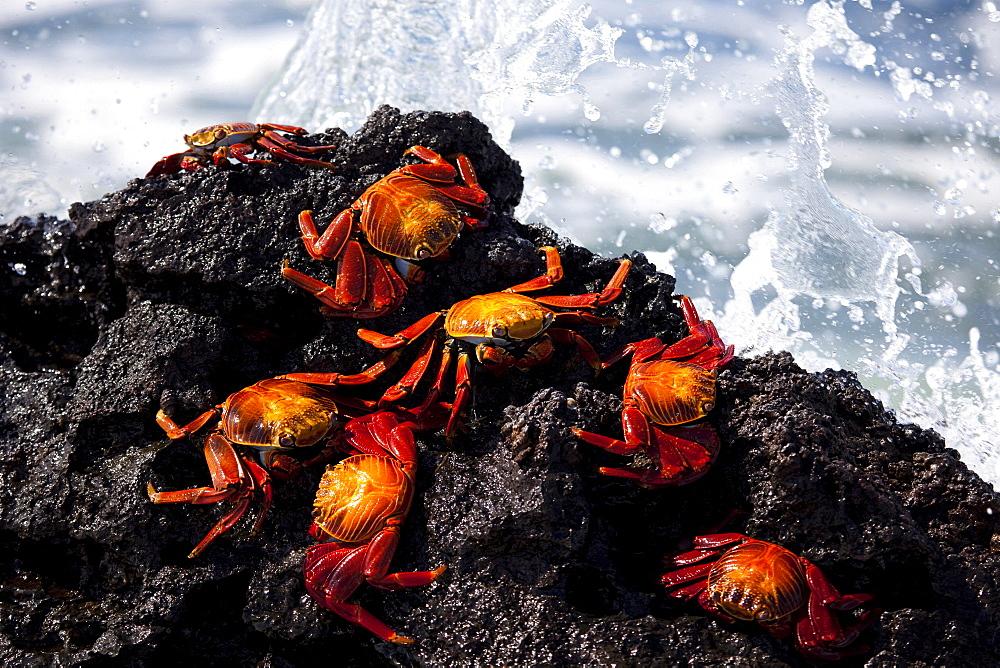 Sally lightfoot red crabs, Galapagos Islands, Ecuador - 1060-1