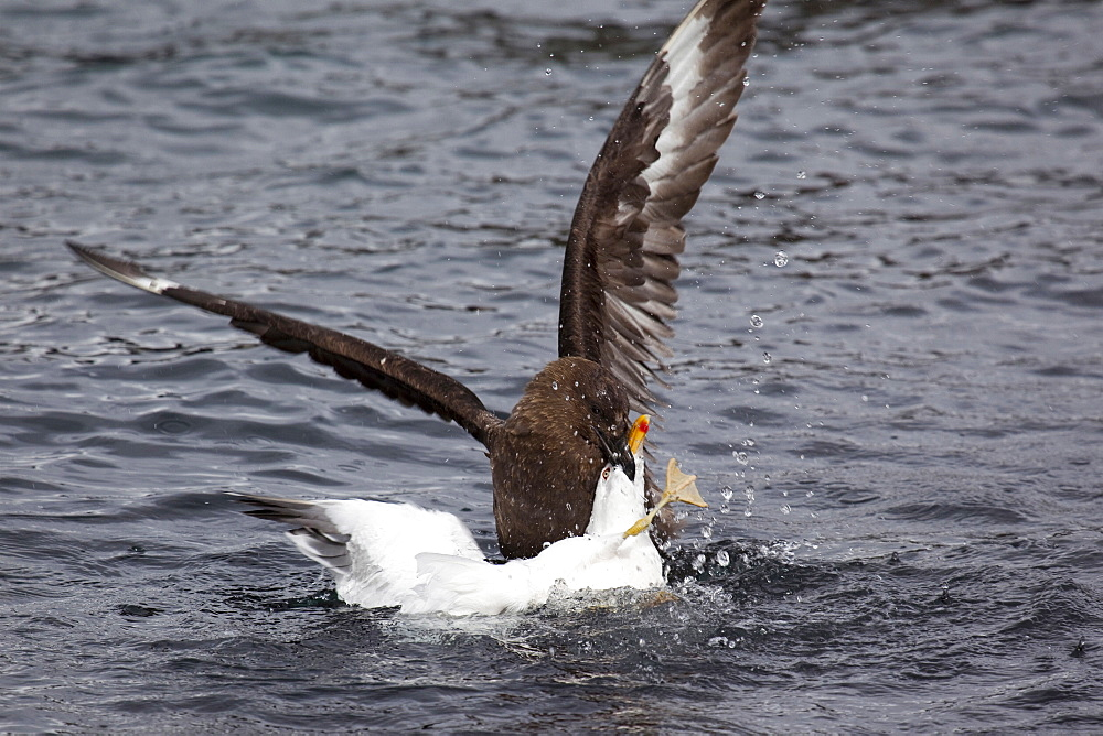 Antarctic skua attacks sea gull in South Georgia