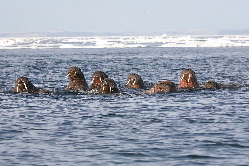 Group of Walrus spyhopping in the iceflow. The Arctic, Svalbard - 1060-33