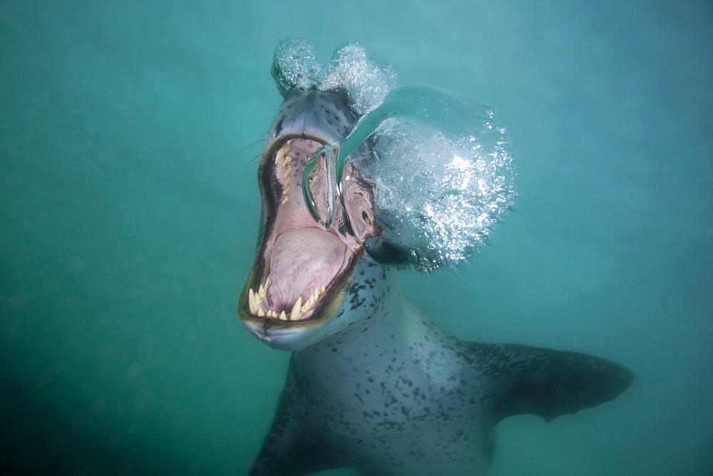Leopard seal below the surface near ice, opens its mouth and blows bubbles, Antarctica - 1060-34