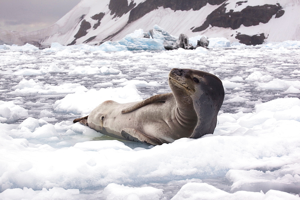 Leopard seal on pack ice in the Antarctic Peninsula - 1060-6