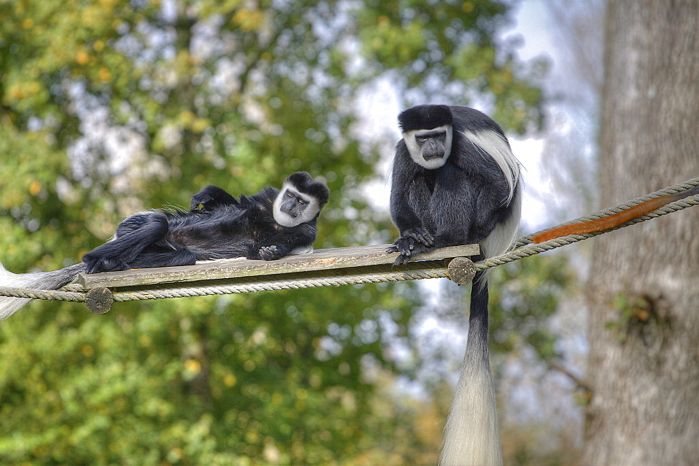 Captive  Colobus guereza adults  in La Vallee Des Singes, Poitou - Charentes France. More info: Status, least concern - 1061-12
