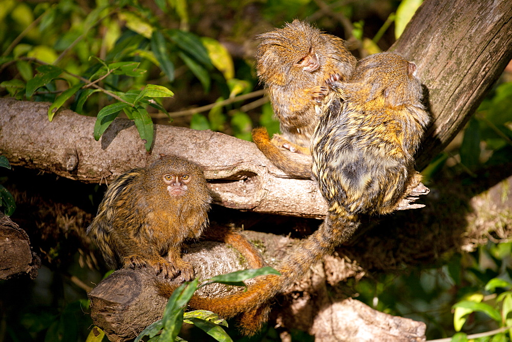 Pygmy marmosets. Cebuella pygmaea. group of 3 captive adults grooming. La Vallee des Singes Poitou-Charentes, France More info: status: least concern but decreasing.