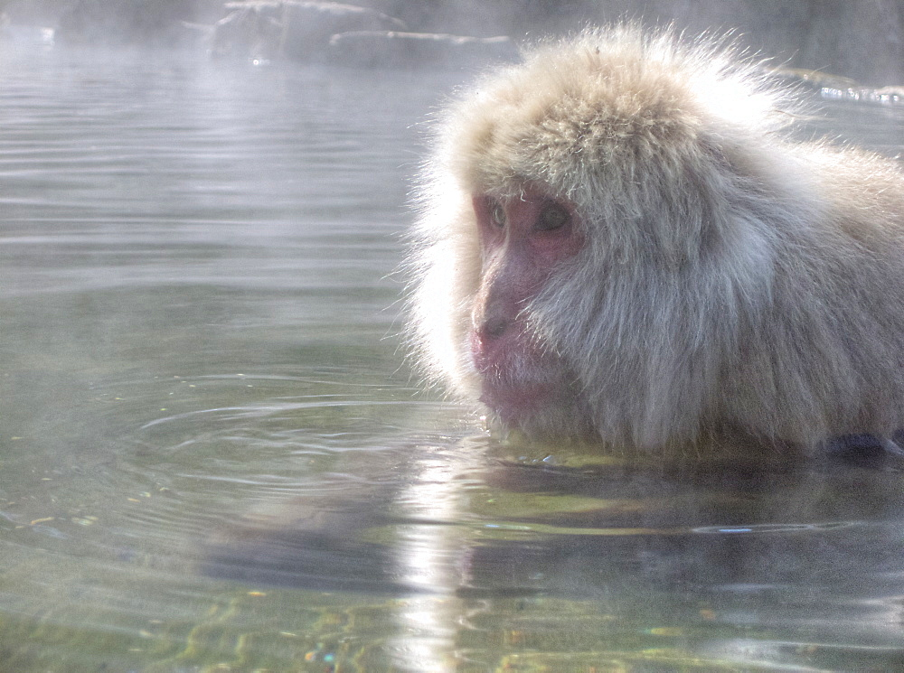 Japanese Macaque (Macaca fuscata)wild adult, keeping warm in a hot spring. Honshu Japan. Status:least concern but 1/10 of the pop is killed by humans evey year. more info: They spend much of the winter swimming,diving or just contemplating life in the warm water.