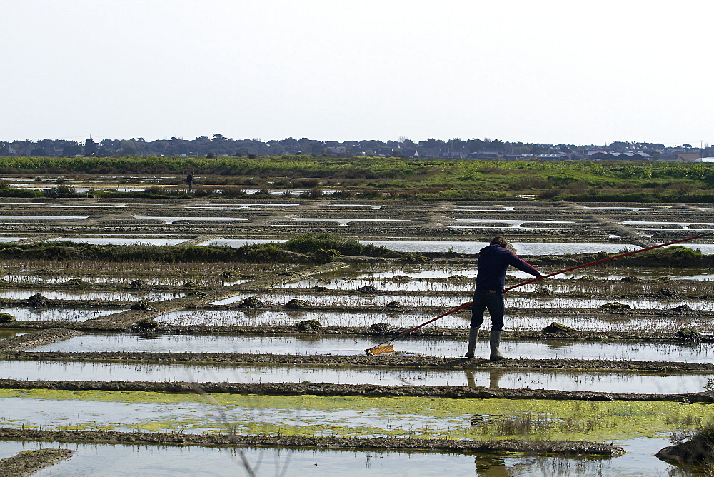 A paludier rakes natural sea salt with a las, in the protected reserve of the Guerande salterns in Brittany, France, Europe