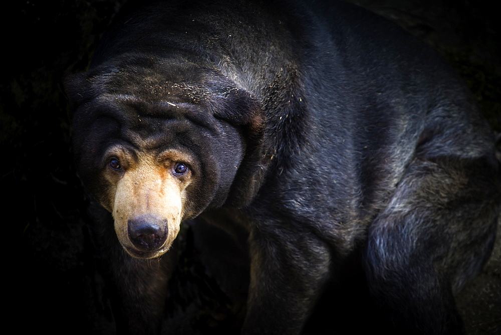 Malayan Sun Bear (Aelarctos malayanus), vulnerable, rapidly declining, down 30 percent due to deforestation, hunting and use in traditional Chinese medicine, France, Europe - 1061-48