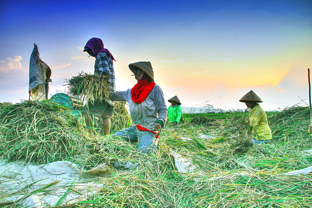 Farmers in Java island using organic instead of pesticide. They are using traditional tools and organic manure/ fertilizer  and they still have a good quality harvest.  Java, Indonesia  - 1063-3
