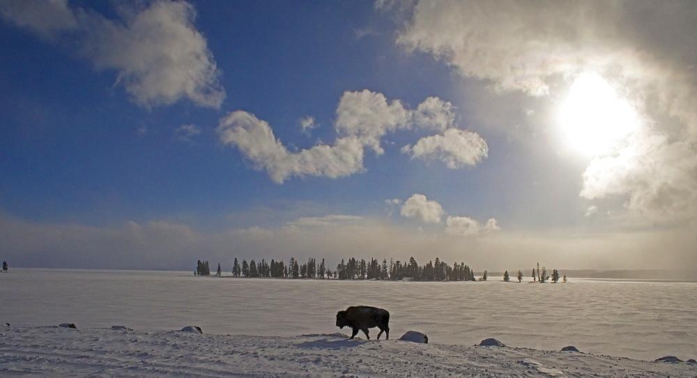 A Cold Walk, Buffalo At Yellowstone Lake, Bovidae bison; Bison; Buffalo; Buffalo in Winter; Buffalo in Winter in Yellowstone; Winter In Yellowstone; Yellowstone Winter - 1065-1