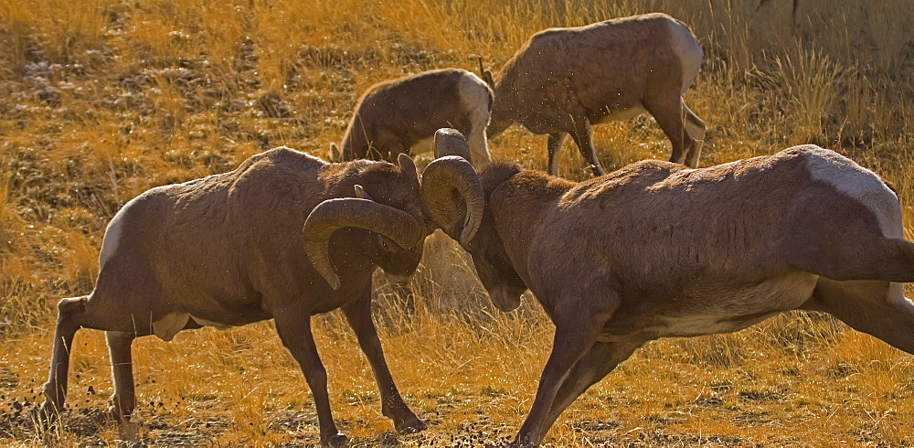 Big Horn Rams In The Rut, Ovis canadensis; Big Horn Ram; Big Horn Sheep - 1065-18