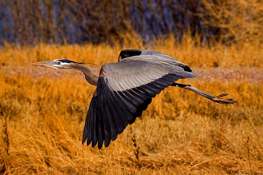 Blue Heron In Flight, Blue Heron, Blue Heron in flight, Bosque del Apache, New Mexico - 1065-19