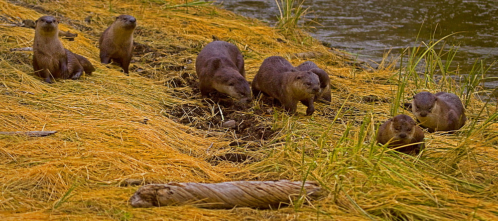A Romp Of Otters, Lutra canadensis, River Otter, Yellowstone National Park; Wyoming;  - 1065-2