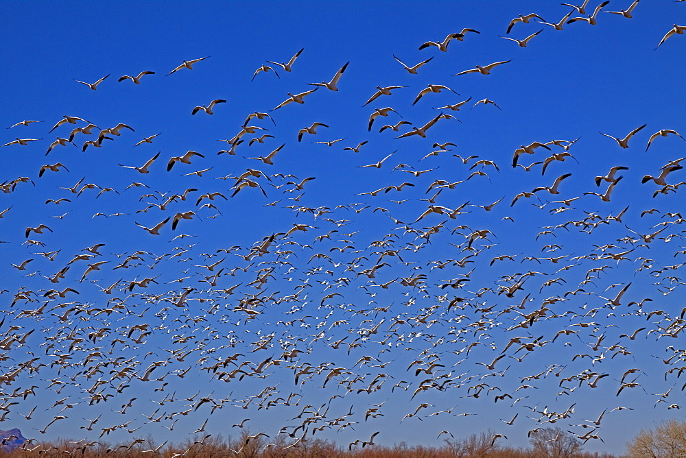 Canadian Snow Goose Migration, Chen caerulescens, Canadian Snow Geese, Bosque del Apache, New Mexico - 1065-23