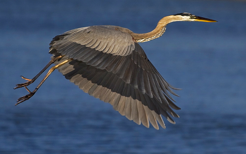 Great Blue Heron In Flight, Ardea herodias; Great Blue Heron; Great Blue Heron in flight - 1065-37