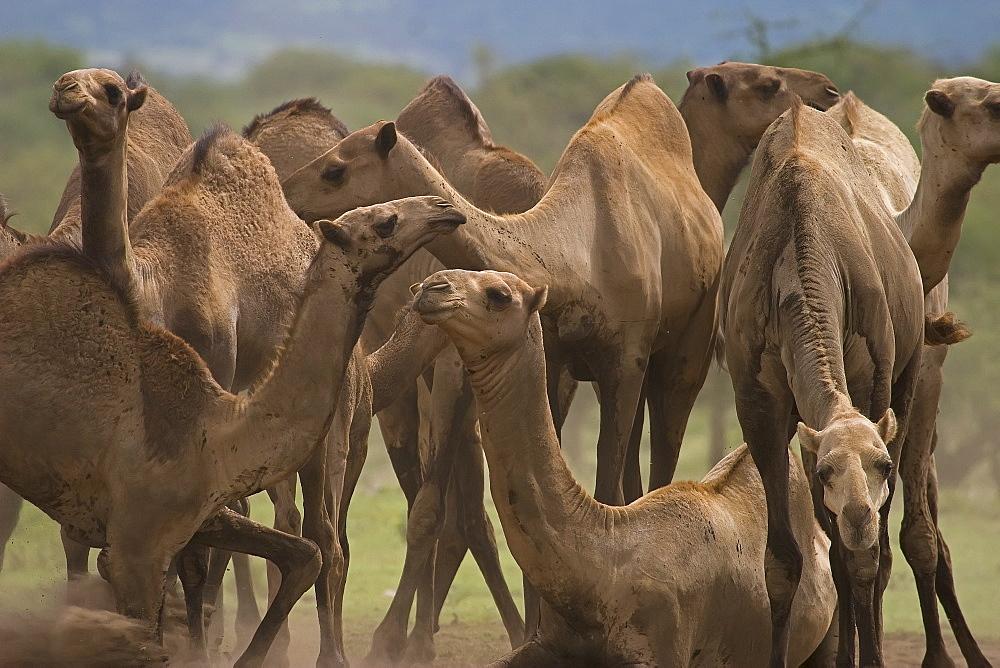 Herd Of Camels, Camelus dromedarius; Camels; Tanzania; Africa - 1065-39