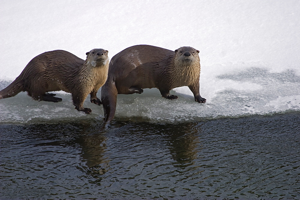 Pair Of Otters, Lontra canadensis; River Otter; Otters near the water; Yellowstone Otters, Yellowstone River;  Yellowstone National Park; Winter; Wyoming;  - 1065-45