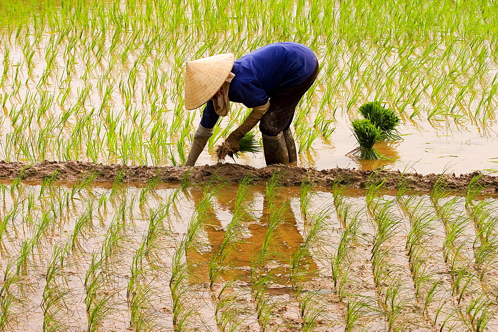Planting Rice, Sout of Hanoi; Planting Rice, Vietnam; Southeaset Asia;  - 1065-49