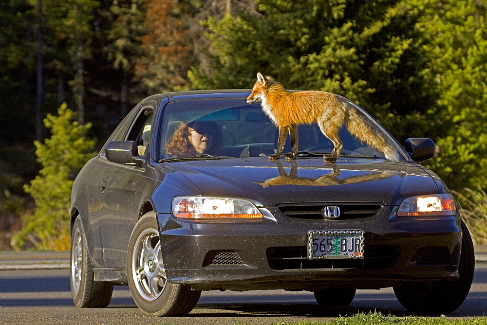 Red Fox On A Honda, Vulpes vulpes; Red Fox; Red Fox Vixen; Habituate Fox; Fox On A Honda; Fox On A Car; North Fork Valley; Wyoming - 1065-52