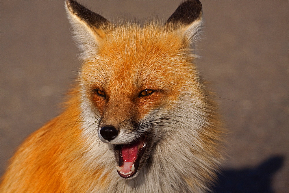 Red Fox Portrait, Vulpes vulpes; Red Fox; Fox; Yellowstone National Park; Wyoming; - 1065-53
