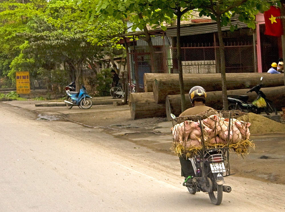 Transporting Pigs, Transporting Pigs On A Motorcycle, Hanoi, Vietnam, Southeast Asia - 1065-59
