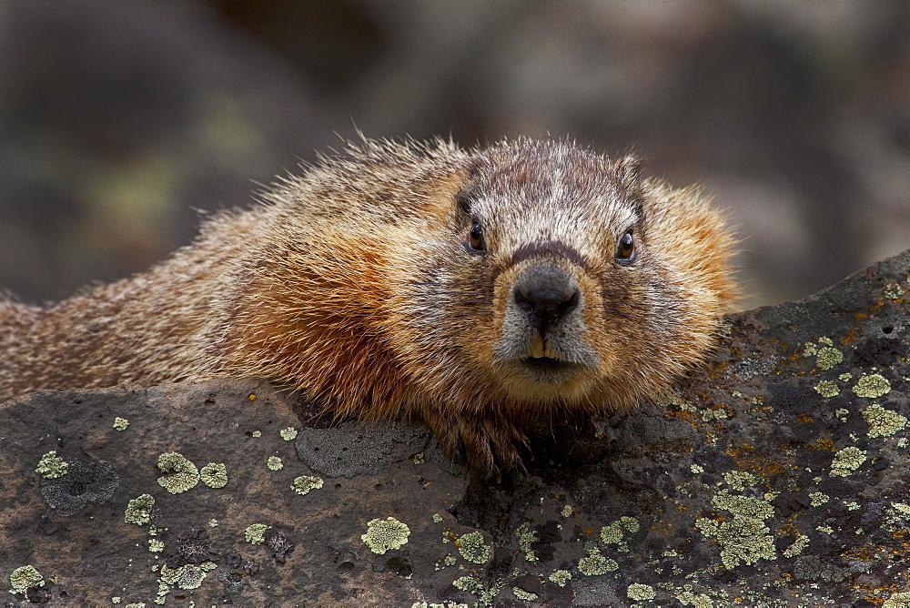 Yellow_Bellied Marmot Portrait, Marmota flaviventris; Yellow-bellied Marmot; Yellowstone National Park; Wyoming - 1065-60