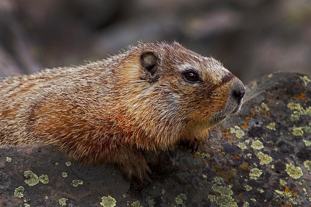Yellow_Bellied Marmot Portrait, Marmota flaviventris; Yellow-bellied Marmot; Yellowstone National Park; Wyoming - 1065-61