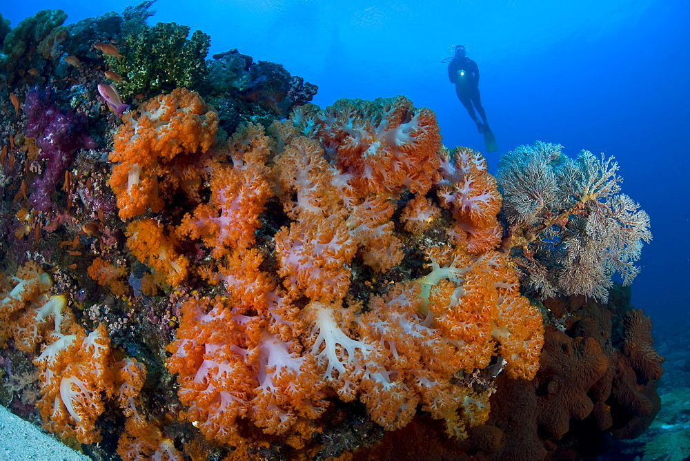 Soft coral colonies (Dendronephthya sp.) and diver.  Komodo, Indonesia, Pacific Ocean.