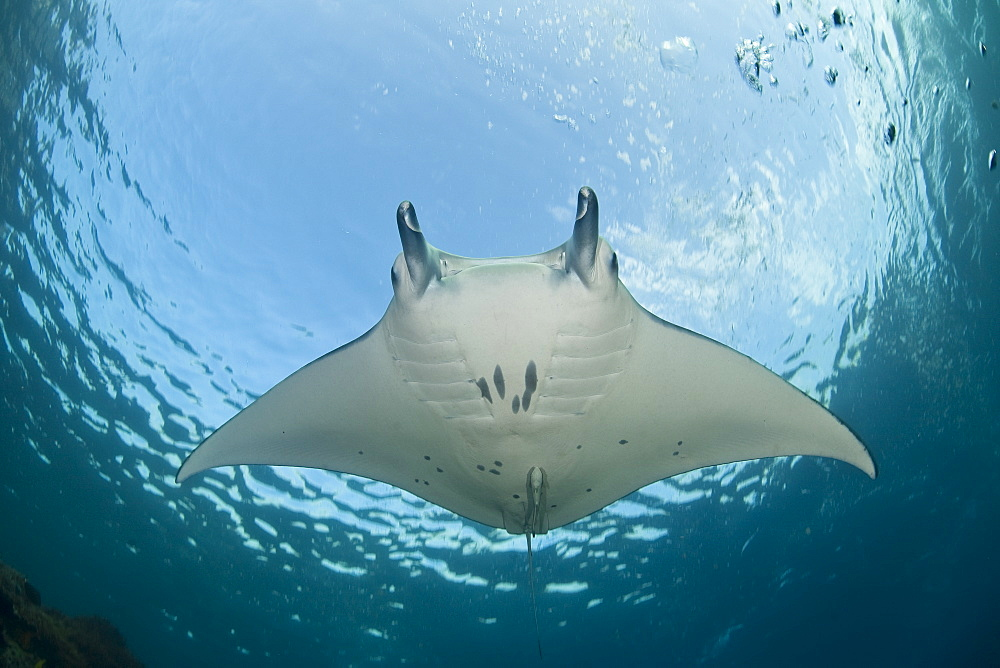 Manta ray (Manta birostris) Adult ray swimming in shallow water.  Komodo, Indonesia, Pacific Ocean. - 1067-11