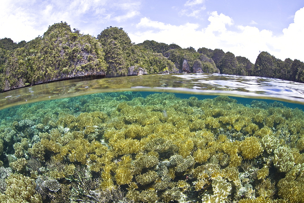 Coral reef of soft leather corals (Sarcophyton sp.) and limestone islands.  Misool, Raja Ampat, Papua, Indonesia, Pacific Ocean.  More info:  This region has the highest marine biological diversity in the world. - 1067-17