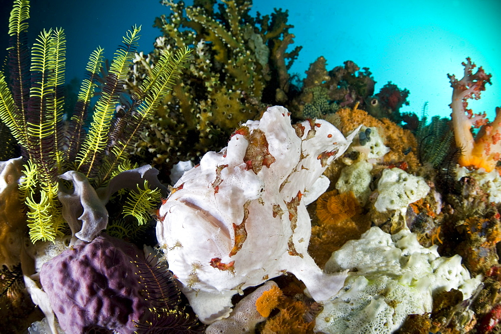 Giant frogfish (Antennarius commersoni) Adult fish blends into a diverse coral reef.  Cannibal Rock, Horseshoe Bay, Rinca Island, near Komodo, Indonesia. - 1067-2