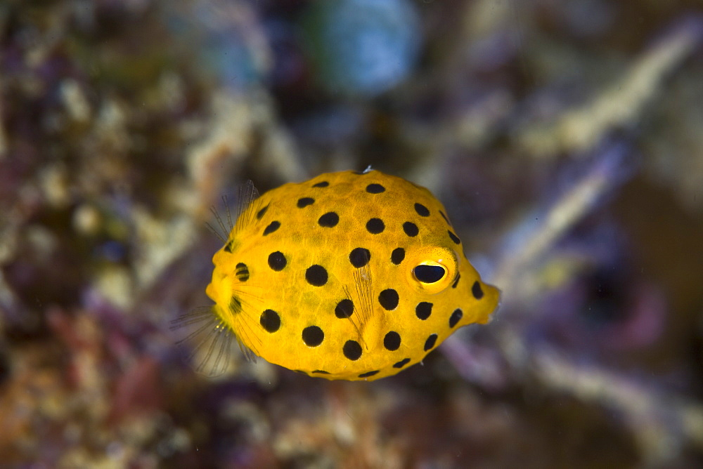 Yellow boxfish (Ostracion cubicus) Juvenile animal swimming about coral reef.  Lembeh Strait, North Sulawesi, Indonesia.  More info:  This species incorporates tetrodotoxin within its tissues. - 1067-27