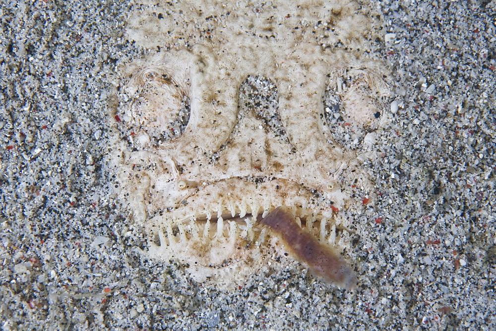 Whitemargin stargazer (Uranoscopus sulphureus) Adult fish hiding in sand using lure to attract prey.  Komodo, Indonesia, Pacific Ocean. - 1067-34