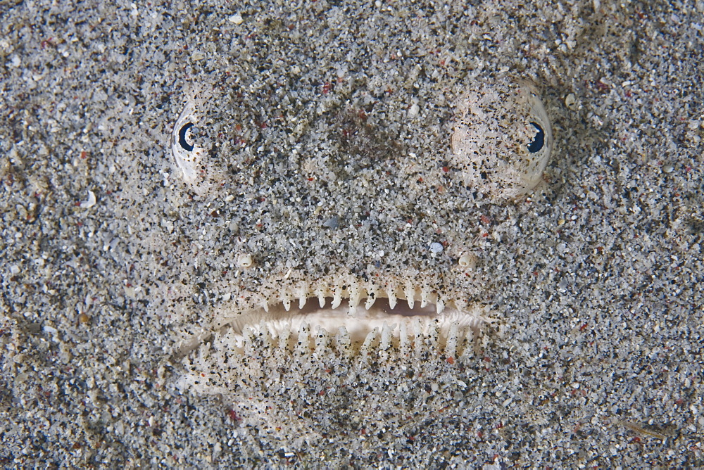 Whitemargin stargazer (Uranoscopus sulphureus) hiding in sand waiting for prey to pass by.  Komodo, Indonesia, Pacific Ocean. - 1067-35