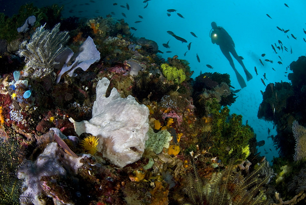 Giant frogfish (Antennarius commersoni) and diver.  Cannibal Rock, Horseshoe Bay, Rinca Island, near Komodo, Indonesia. - 1067-4