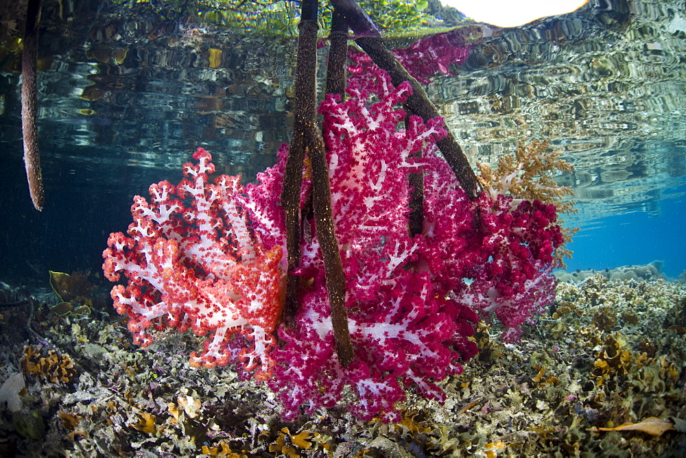 Soft corals (Dendronephthya sp.) growing on mangrove prop roots (Rhizophora sp.)  Raja Ampat, Papua, Indonesia, Pacific Ocean. - 1067-42