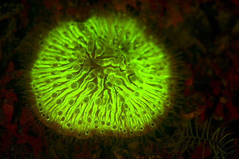 Mushroom coral, Fungia sp., displaying fluorescence.  Some corals have pigments which fluoresce under UV or blue wavelengths of light.  Lembeh Strait, North Sulawesi, Indonesia, Pacific Ocean. - 1067-50
