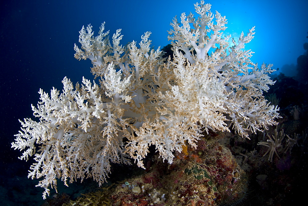 Bleached soft coral, Sinularia sp.  This colony has lost its symbiotic zooxanthellae and turned white due to high water temperatures.  Buyat Bay, North Sulawesi, Indonesia, Pacific Ocean.
