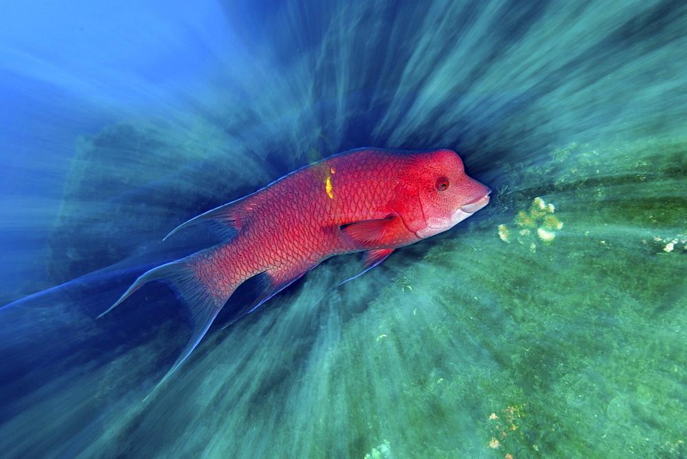 Mexican hogfish. Socorro. Revillagigedo Islands, Pacific Ocean  - 1072-10