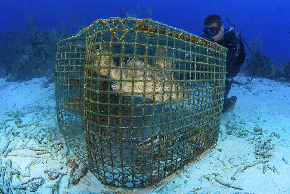 Grouper in fishing cage. Cat Islan, Bahamas - 1072-111