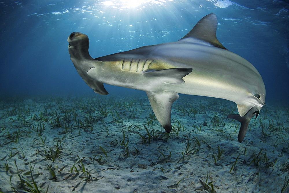 Hammerhead shark, Belize - 1072-12